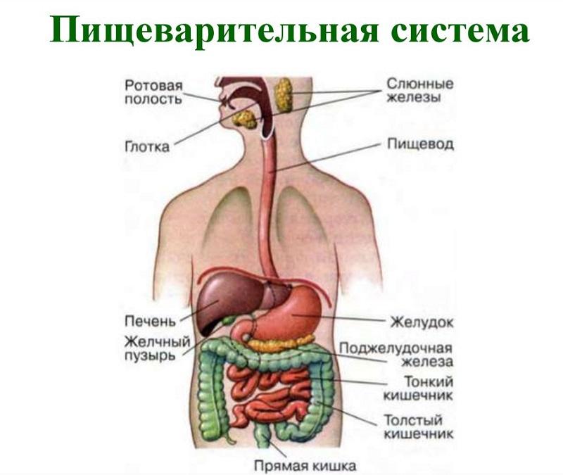 Анатомия ЖКТ фото